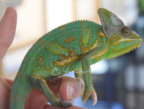 #V3 Male High Translucent Veiled Chameleon