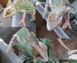 Female 11 - High Translucent Veiled Chameleon