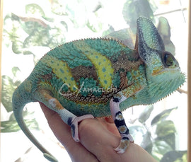 High Translucent Male Veiled Chameleon