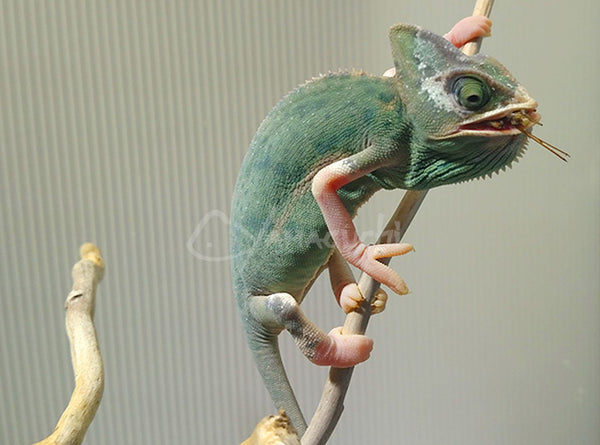 Female 01 - High Translucent Veiled Chameleon