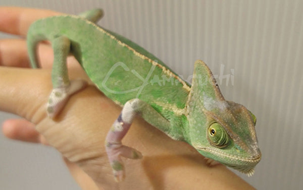 Female 02 - High Translucent Veiled Chameleon
