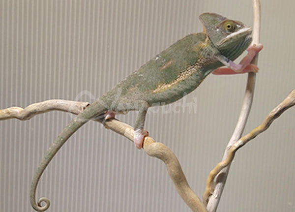 Female 04 - High Translucent Veiled Chameleon