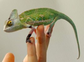 "Male 01 ""Dali"" - High Translucent Veiled Chameleon"