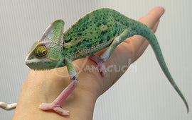 Male 02 - High Translucent Veiled Chameleon