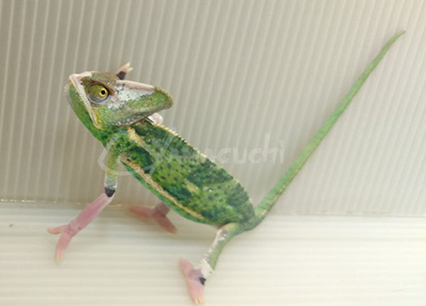 Male 04 - High Translucent Veiled Chameleon