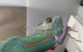 Male 06 - High Translucent Veiled Chameleon
