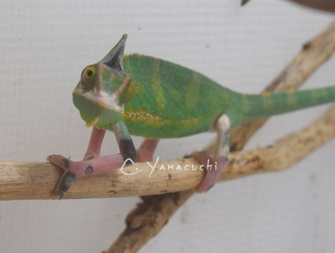 #V1 Male High Translucent Veiled Chameleon