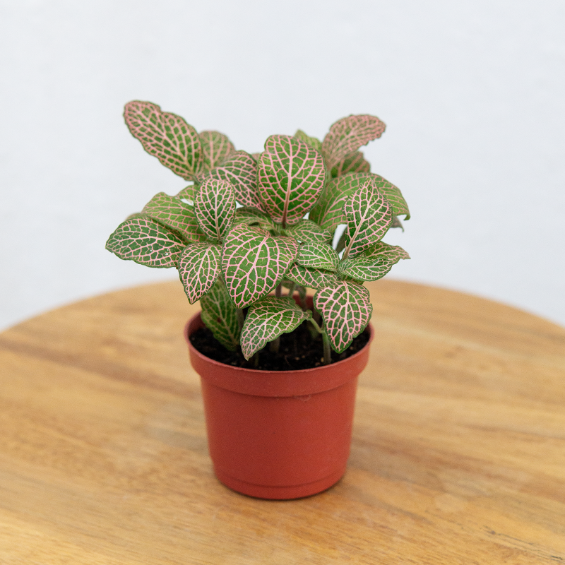 Fittonia (Pink)