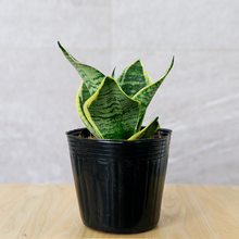 Load image into Gallery viewer, Sansevieria Jade Pagoda