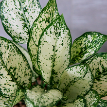 Load image into Gallery viewer, Aglaonema 'Spring Snow'