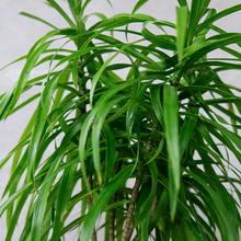 Load image into Gallery viewer, Dracaena Anita