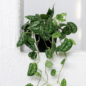 Satin Pothos (Trailing)