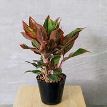 Load image into Gallery viewer, Aglaonema 'Red Siam' 15cm
