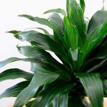 Load image into Gallery viewer, Dracaena Janet Craig Compacta