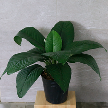 Load image into Gallery viewer, Spathiphyllum 'Sensation'