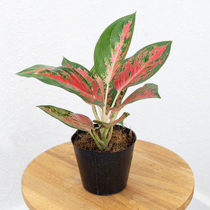 Aglaonema 'Red Cochin'