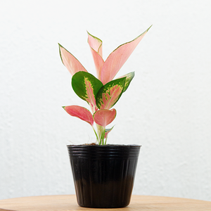 Aglaonema Red Charm