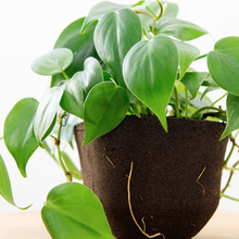 Load image into Gallery viewer, Heartleaf philodendron (Pafcal - Soilless)