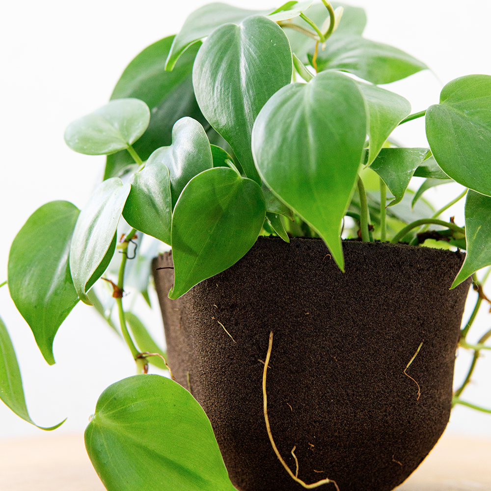 Heartleaf philodendron (Pafcal - Soilless)