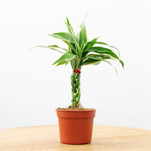 Load image into Gallery viewer, Braided Lucky Plant