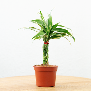 Braided Lucky Plant