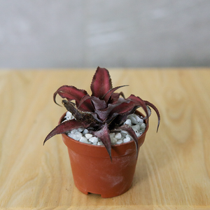 Cryptanthus (Red)