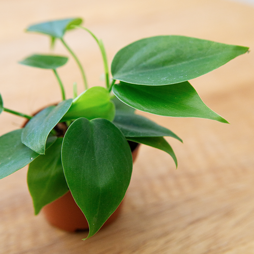 Heartleaf Philodendron (Mini)