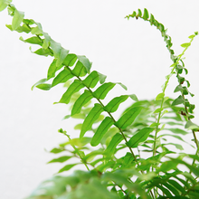 Load image into Gallery viewer, Boston Fern