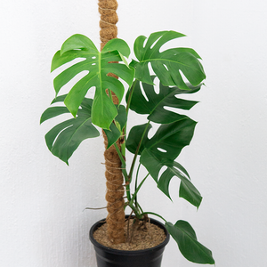 Monstera deliciosa (w/ Stick)
