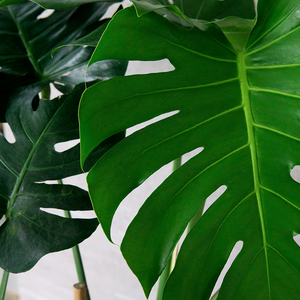 Monstera Deliciosa XL