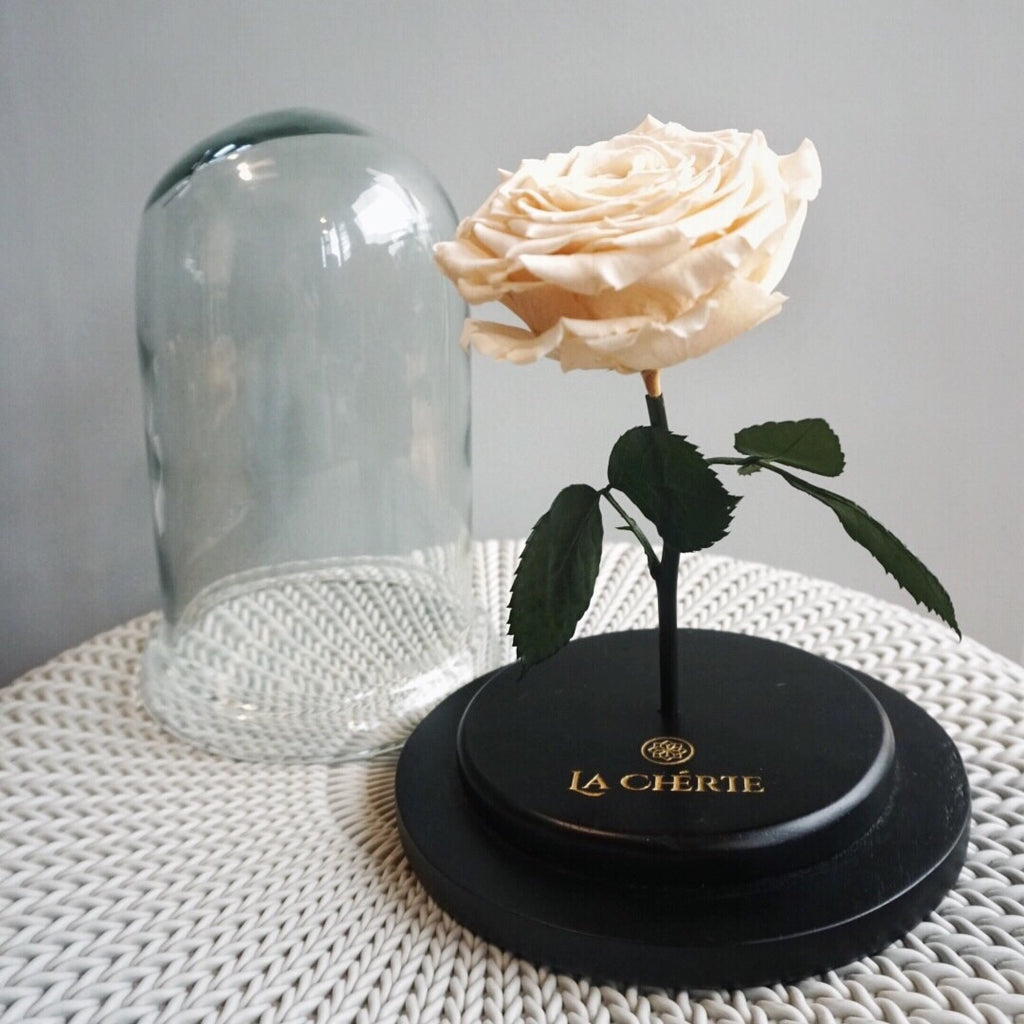 Beauty & the Beast Preserved Ecuadorian Rose: CREAM WHITE