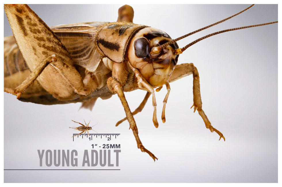 Young Adult Crickets