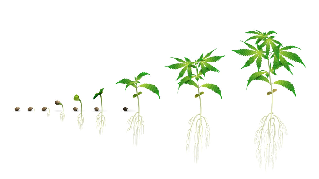 The Growth Of a Cannabis Plant