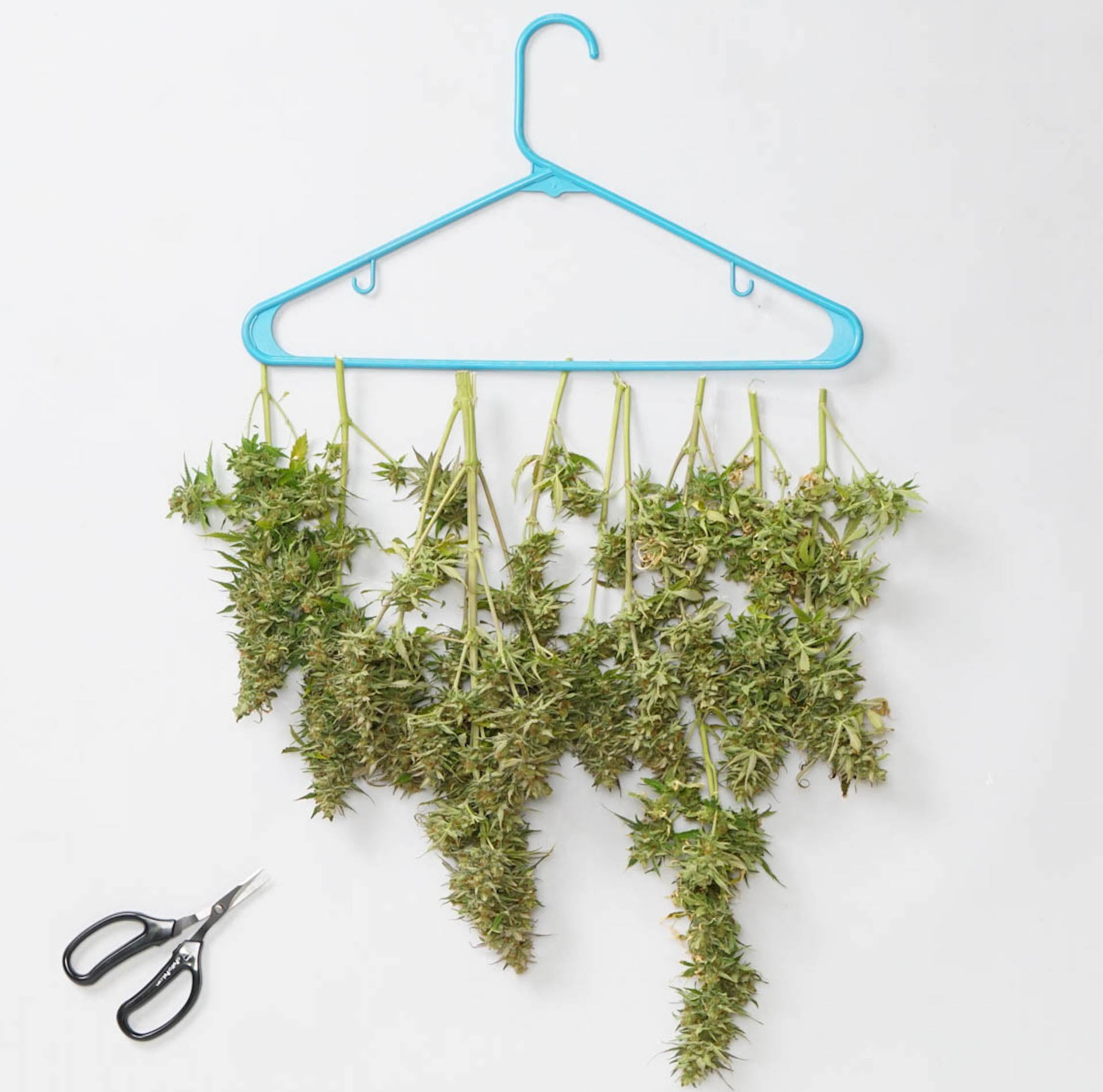 freshly harvested weed hanging on hanger with trimming scissors
