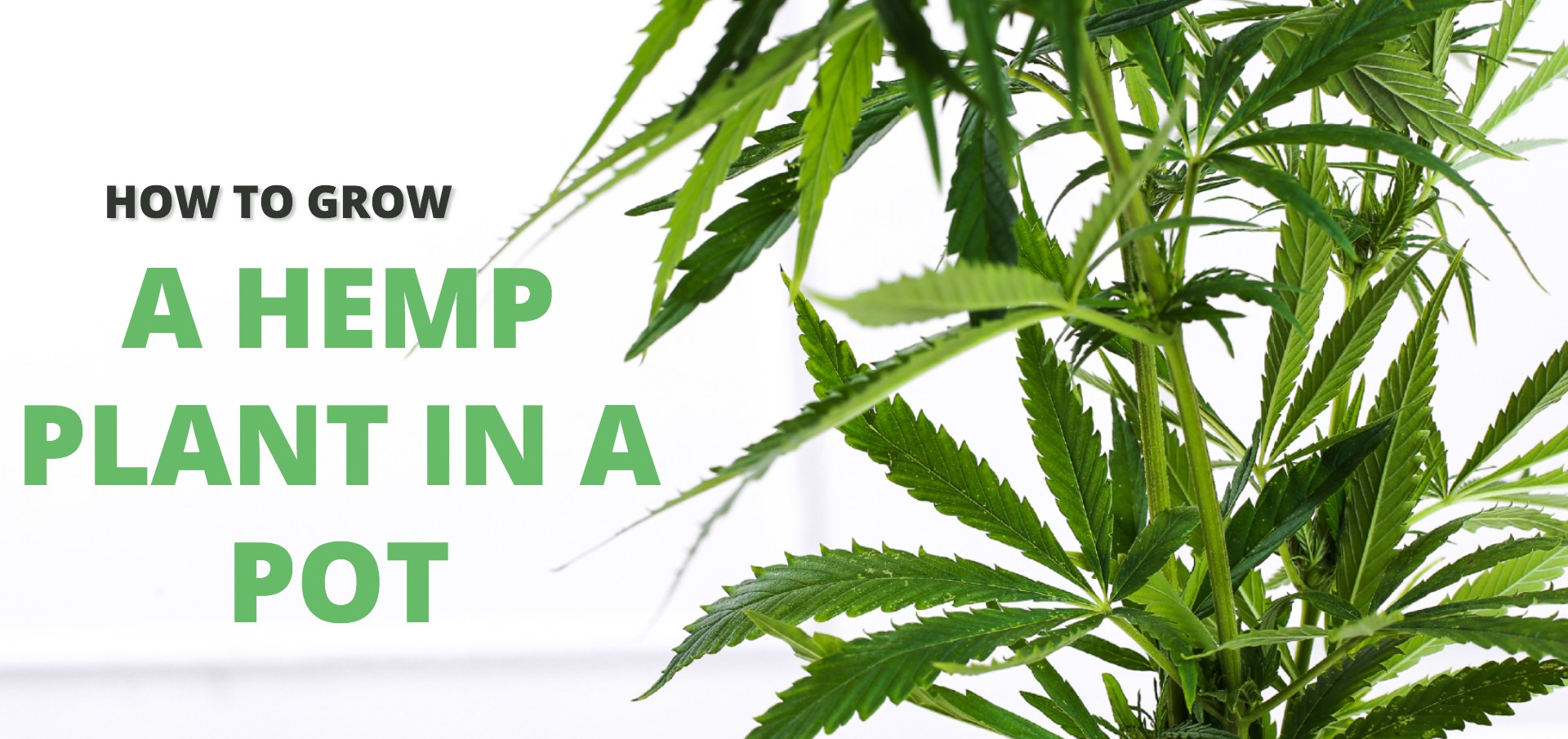 How to grow a hemp plant in a pot