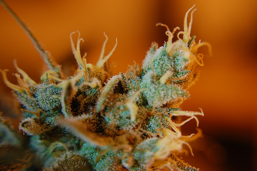 Trichomes glisten on the cannabis plant.