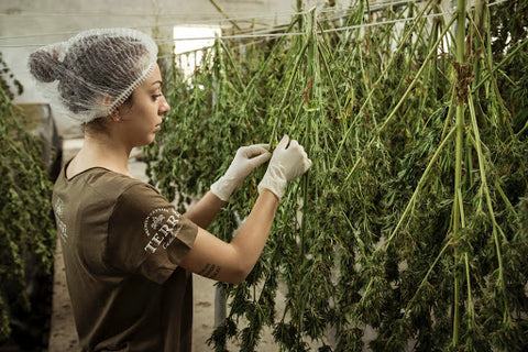 girl drying marijuana plants