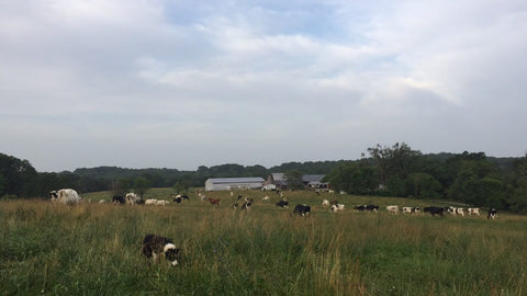 Grazing cows at Grison Dairy Farm