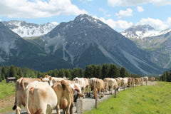 Cows in Arosa on their way to the Alp Maran where raclette cheese is being made