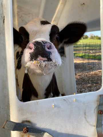 calf after feeding at Grison Dairy and Creamery