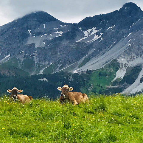 Cows on Alp Maran