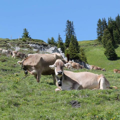 Happy cows grazing and resting on the alp in Arosa, Graubuenden