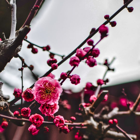 The Plum Blossoms are Blooming in Kyoto!