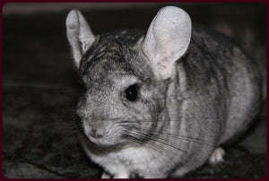 Chinchilla Products