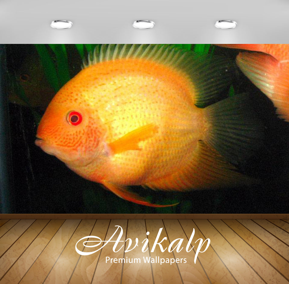 Avikalp Exclusive Awi2676 Golden Severumheros Severusbanded Cichlid Fish Full HD Wallpapers for Livi
