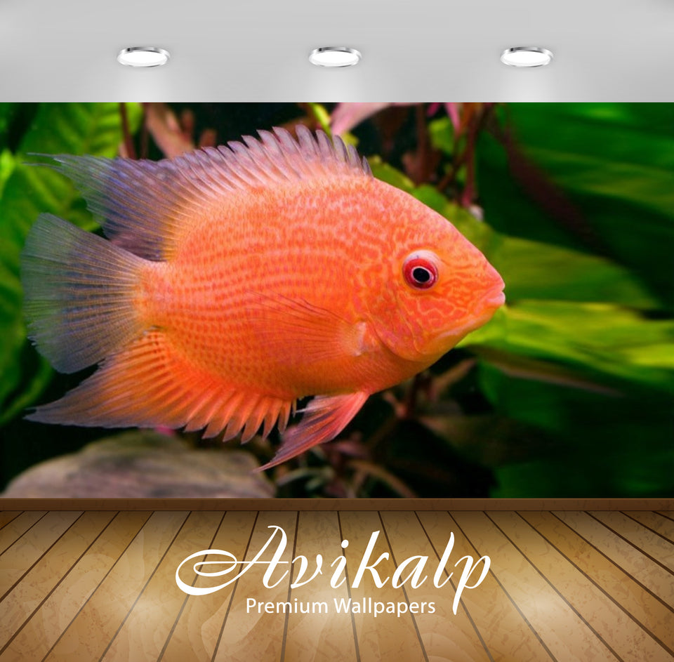 Avikalp Exclusive Awi2714 Heros Efasciatus A Tropical Freshwater Cichlid Fish In South America Full