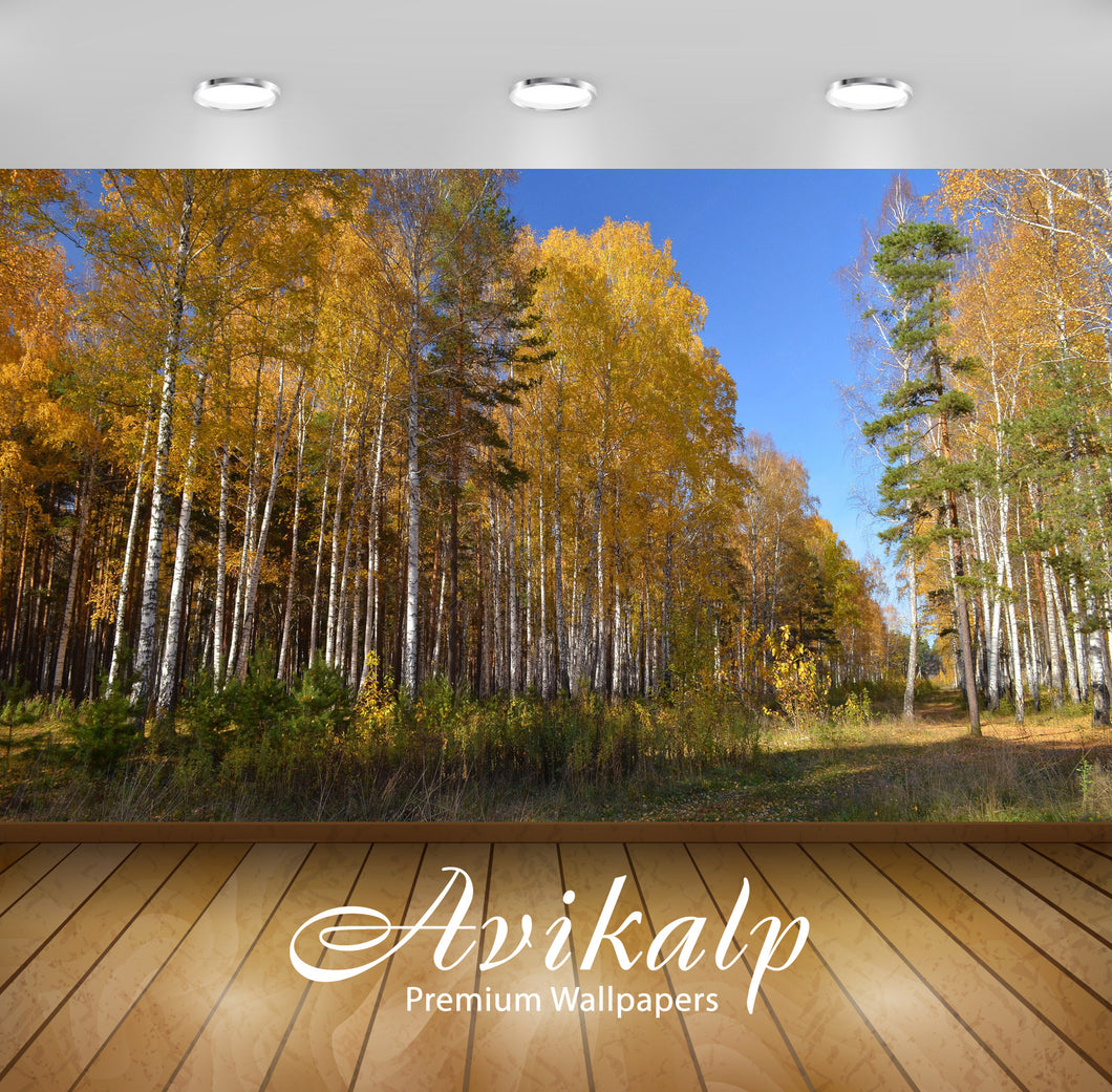 Avikalp Exclusive Awi5234 Birch Autumn Forest Nature Full HD Wallpapers for Living room, Hall, Kids