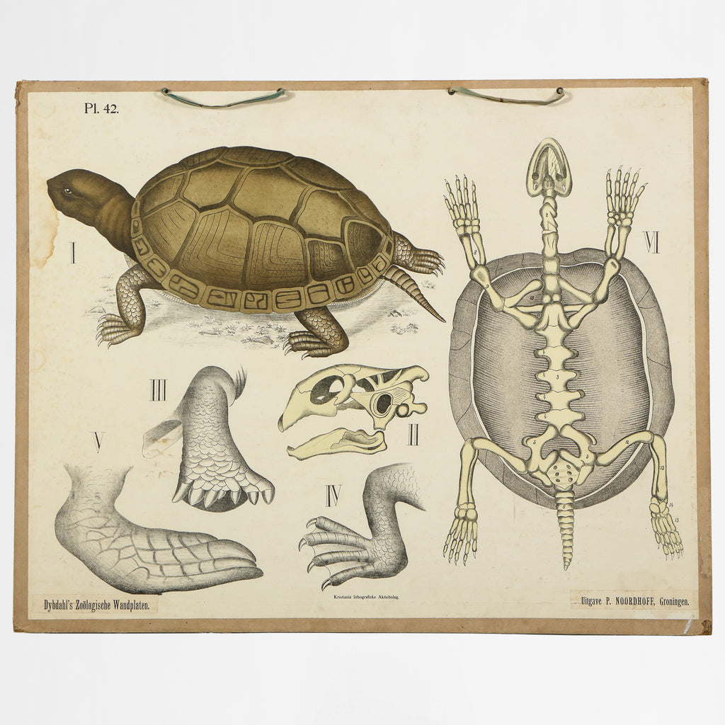 Zoological Lithograph circa 1900