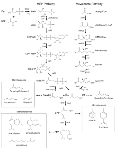 MEP and Mevalonate Pathways