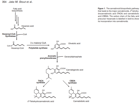 Polyketide Pathway and Eventual CBGA Synthesis